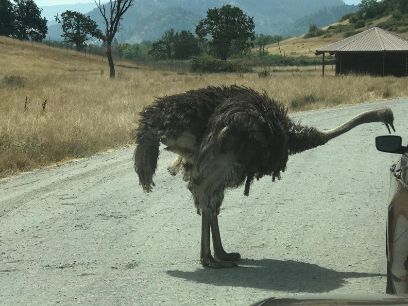 Emu next to car