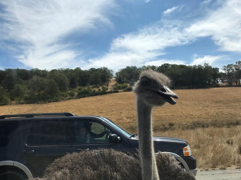 Emu looking into bronco