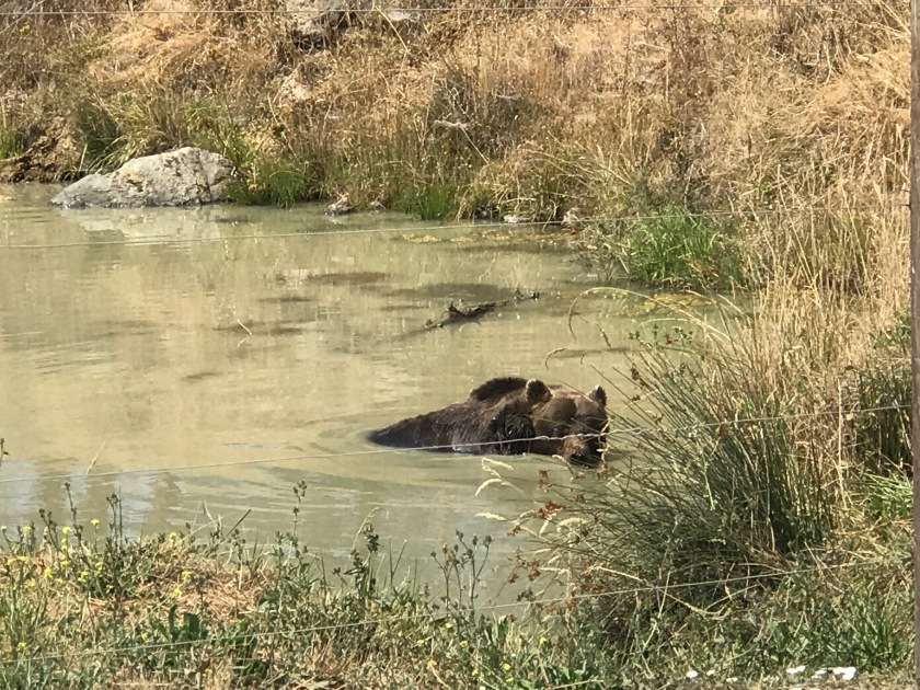 Bear in a pond